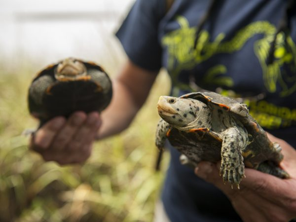 two Diamondback Terrapin turtles