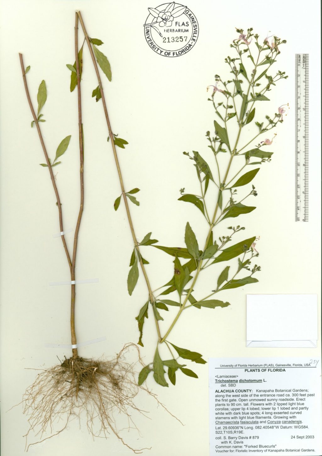A herbarium specimen featuring a tall plant with small, blue flowers