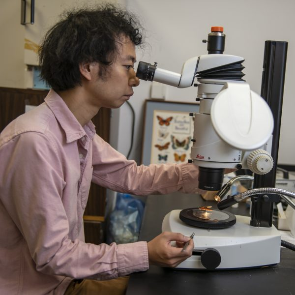 scientist looks at butterfly through microscope