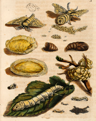 illustration of the life cycle of silkworms
