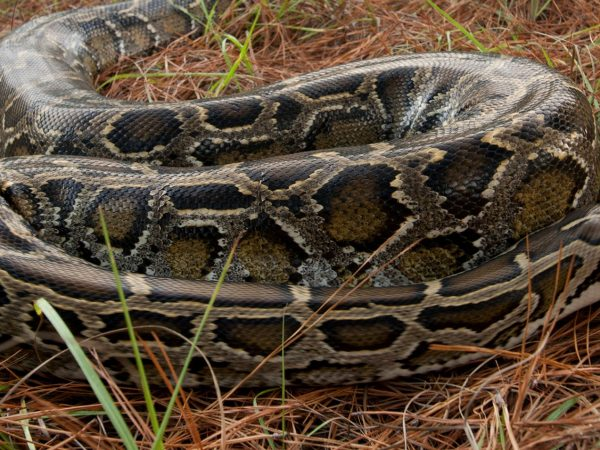 python in pine needles