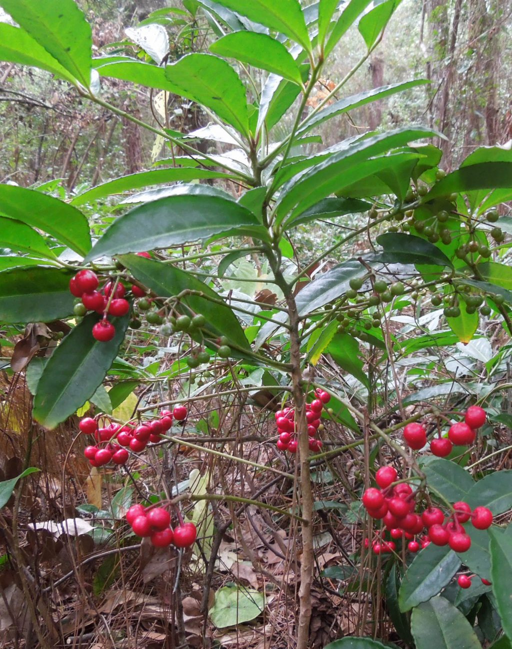 plant with dark leaves on top and sprigs of red berries below