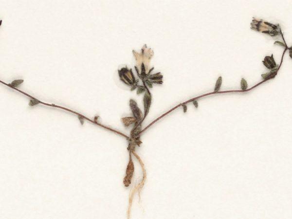 pressed bellflower specimen