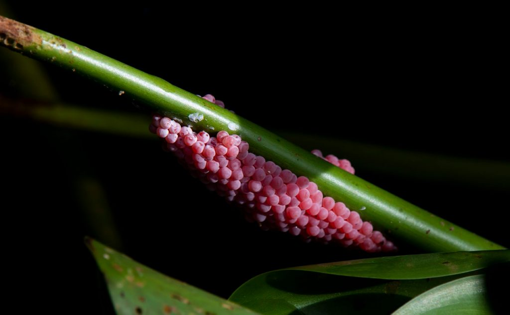 pink snail eggs on a green stem