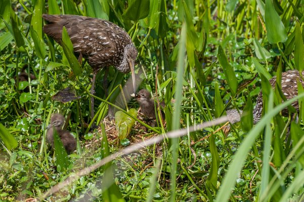 limpkin feeding baby birds