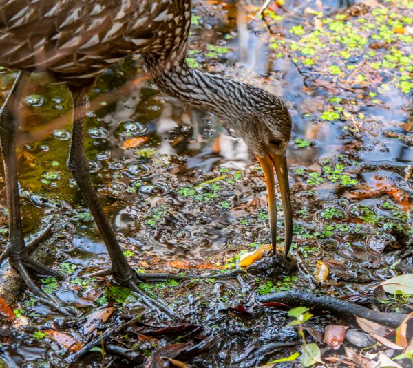 limpkin eating an apple snail