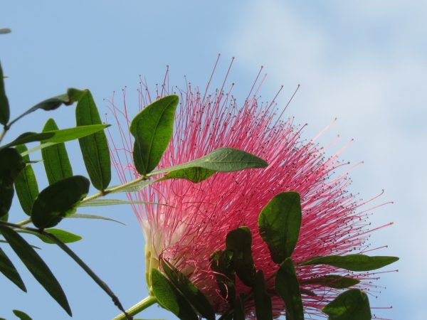 pink flower on green foliage against the sky