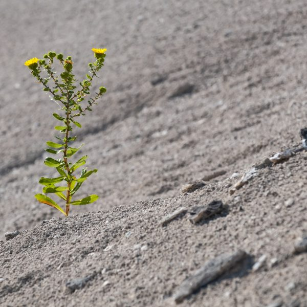 yellow flowered plant growing in desert landscape