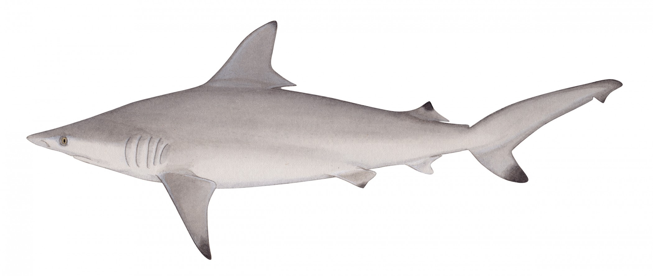 A profile view of a gray-colored blacktip shark