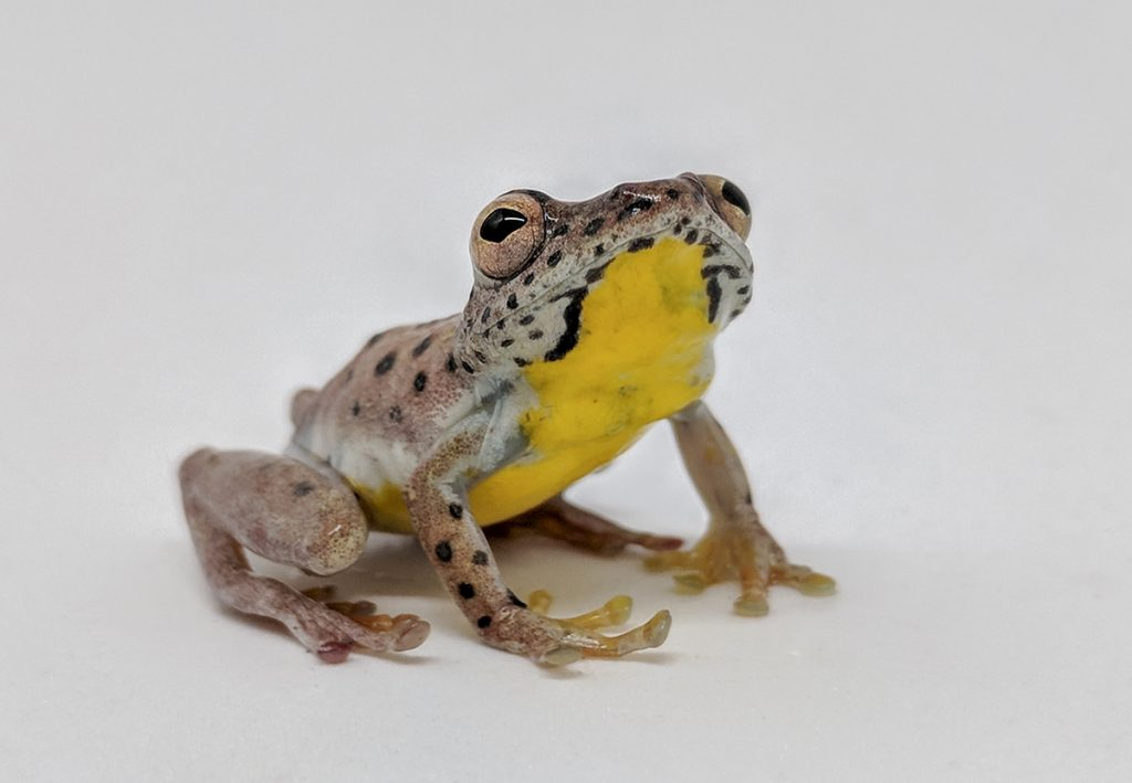 frog with yellow belly on white background