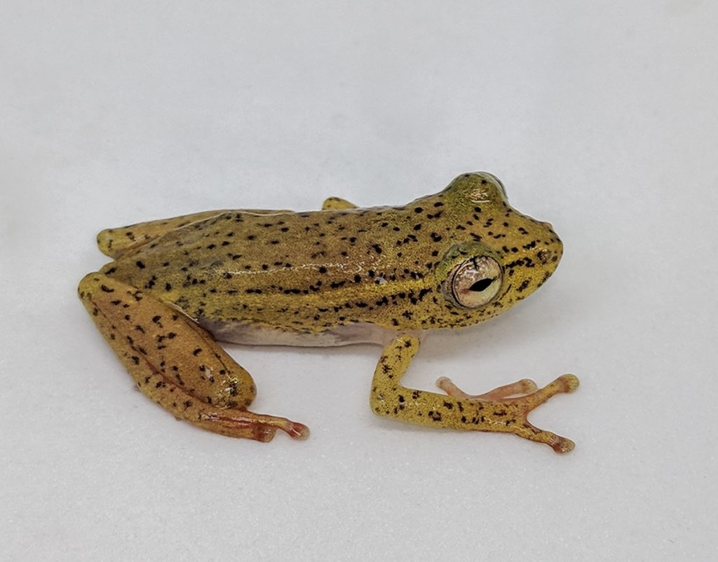 greenish-yellow spotted frog on white background
