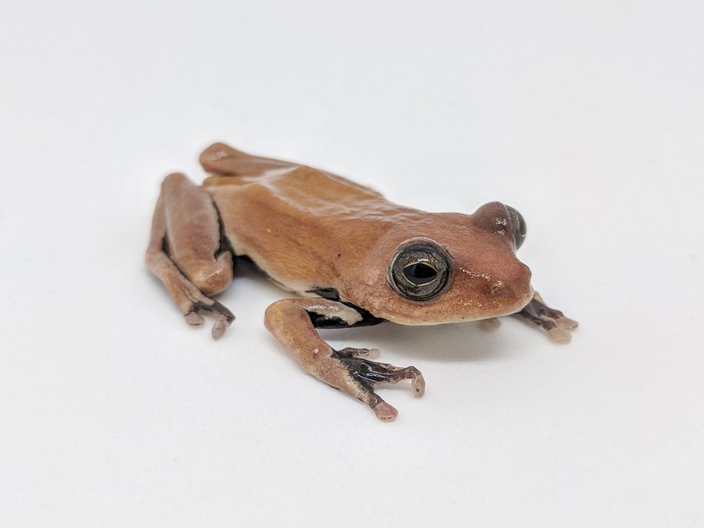tan colored frog on white background