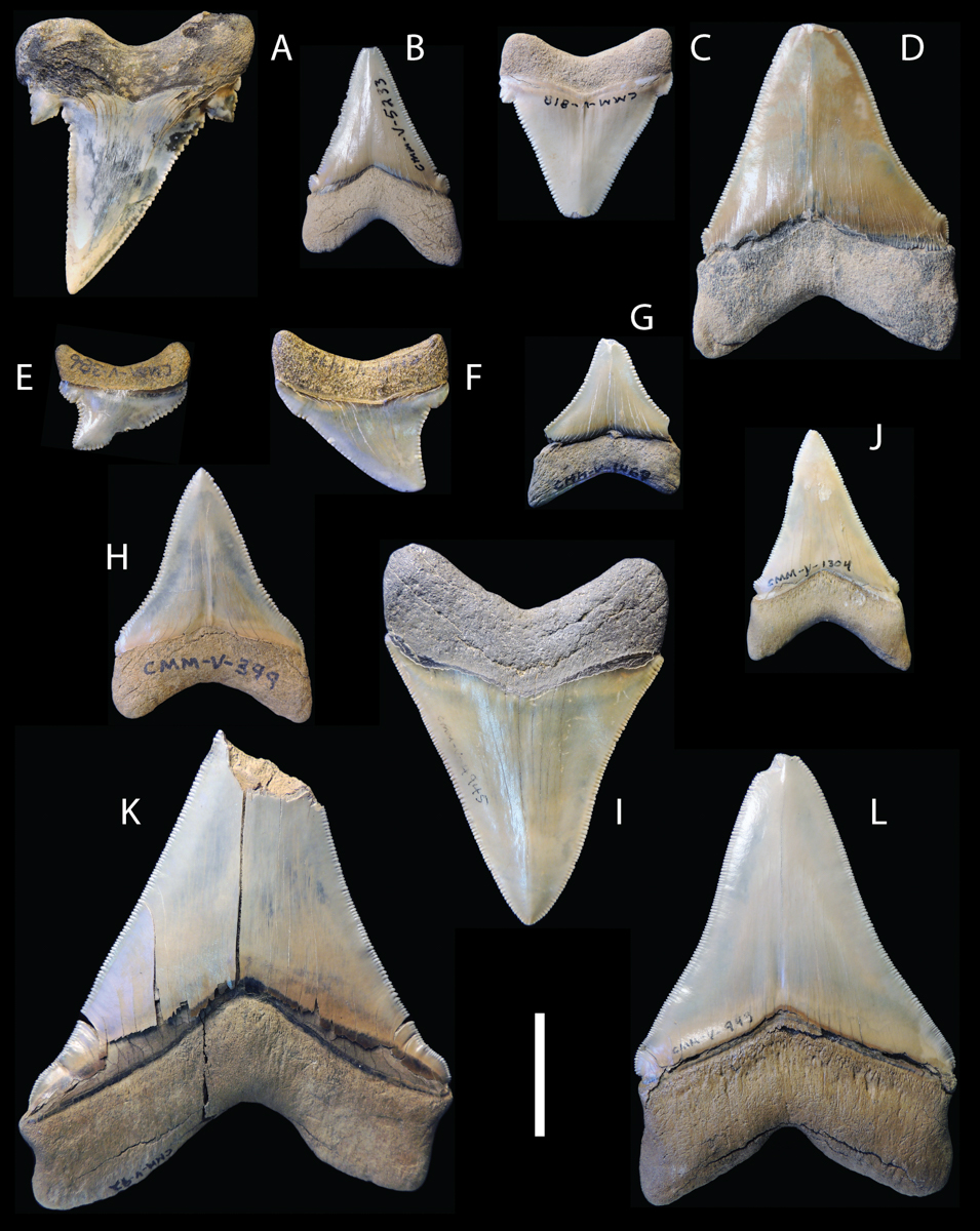 multiple shark teeth, some with cusplets, some without and some with reduced cusplets