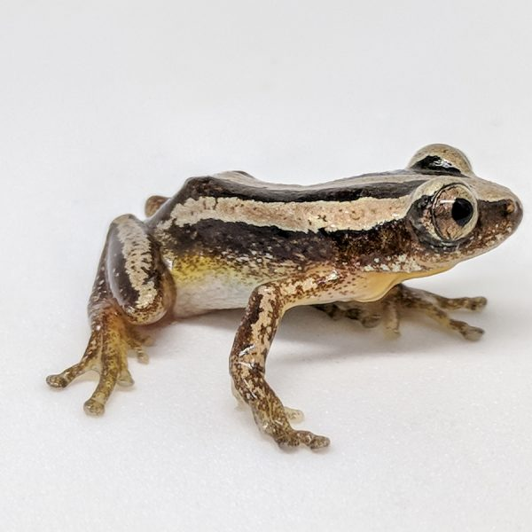 striped frog on a white background