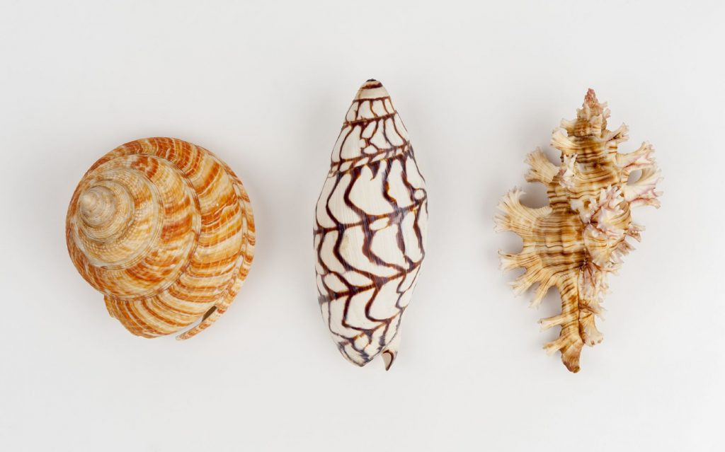 Image of three shells taken from above