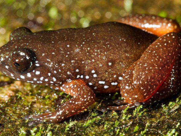 orange-brown frog with white speckles