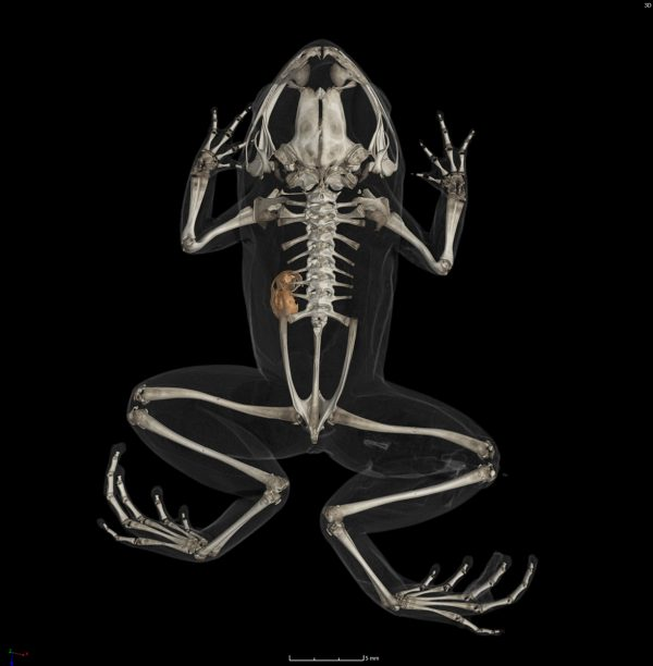 CT image of frog skeleton with snail in abdomen
