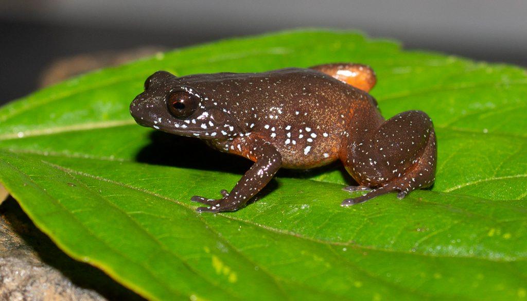 orange-brown frog on green leaf