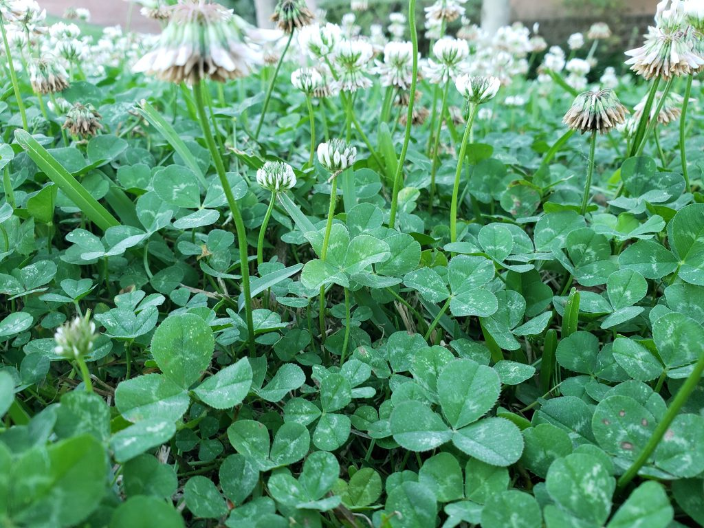 clover with white flowers blooming