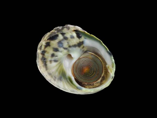 A photo of a snail shell