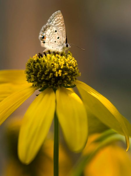 small brown butterfly on large yellow flower