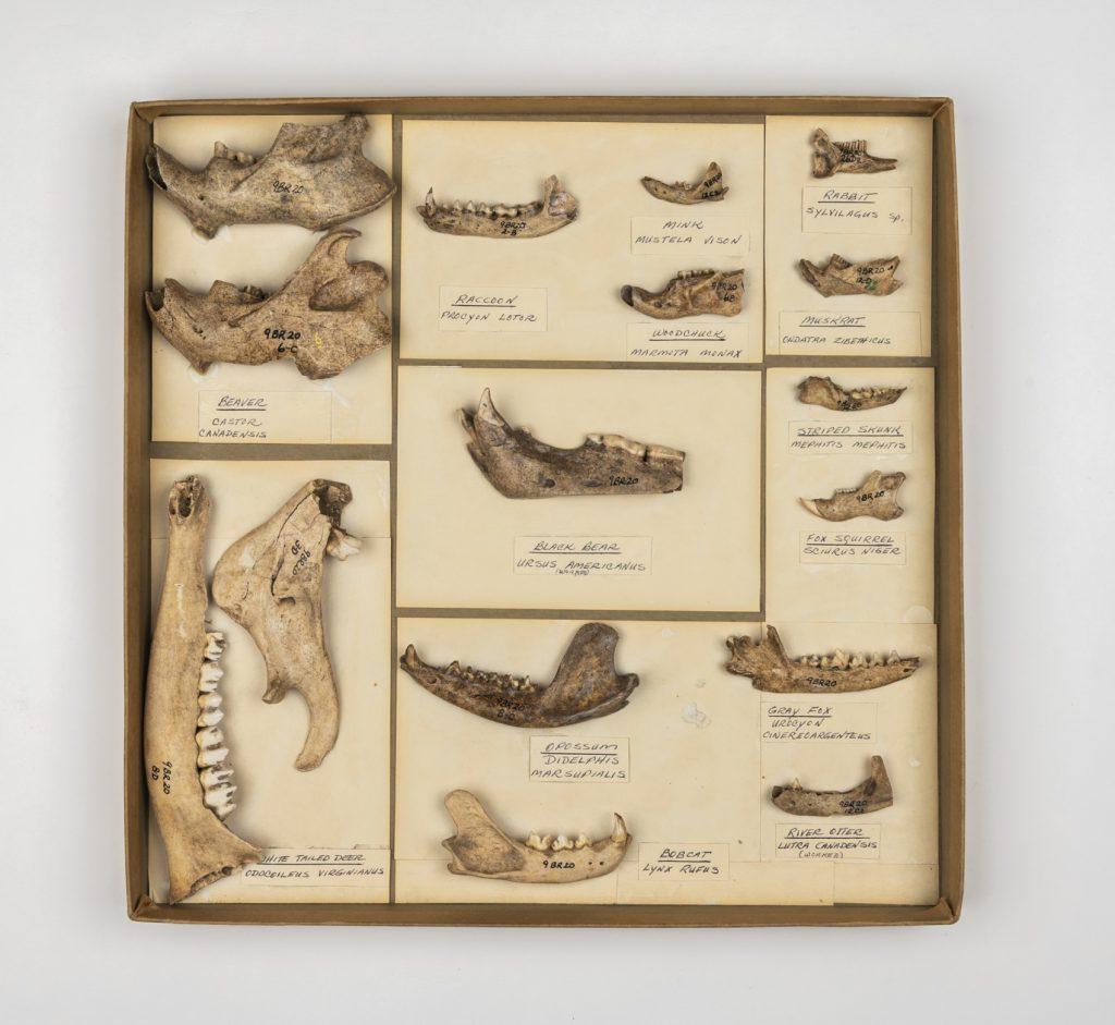 box of ancient animal jawbones