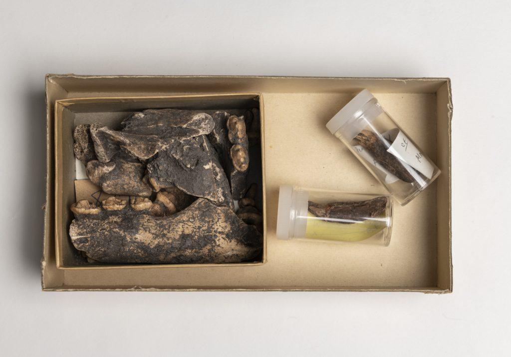 box of bones, including jaws