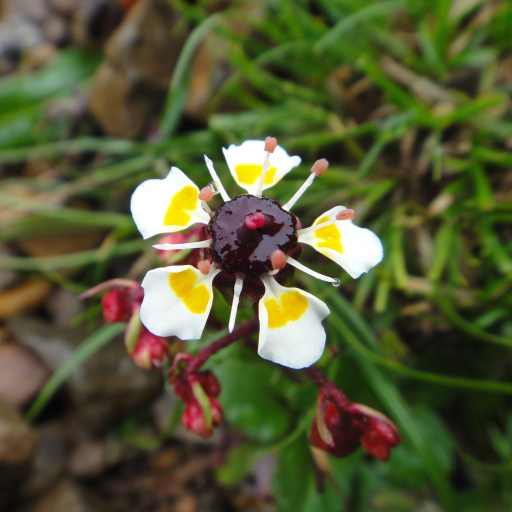 white flower with purple jam-like center