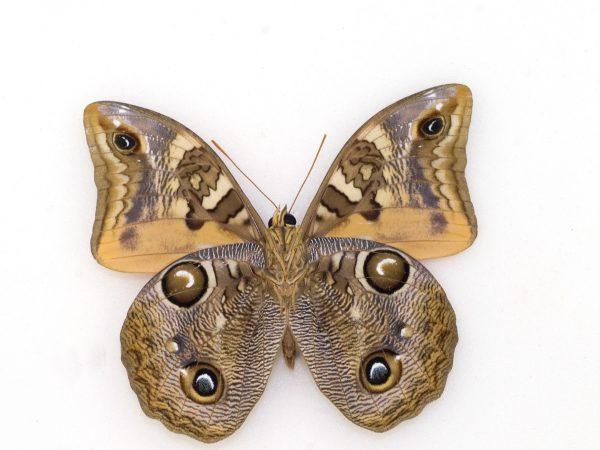 intricately patterned Minerva owl butterfly specimen