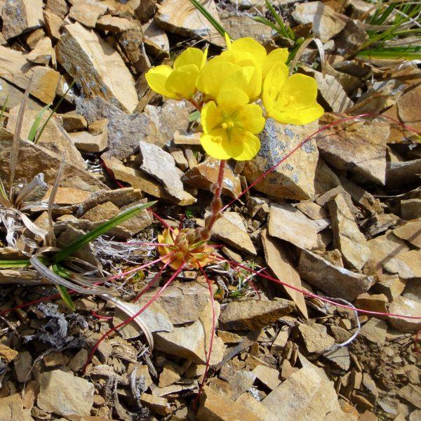 delicate yellow flowers in rocky habitat