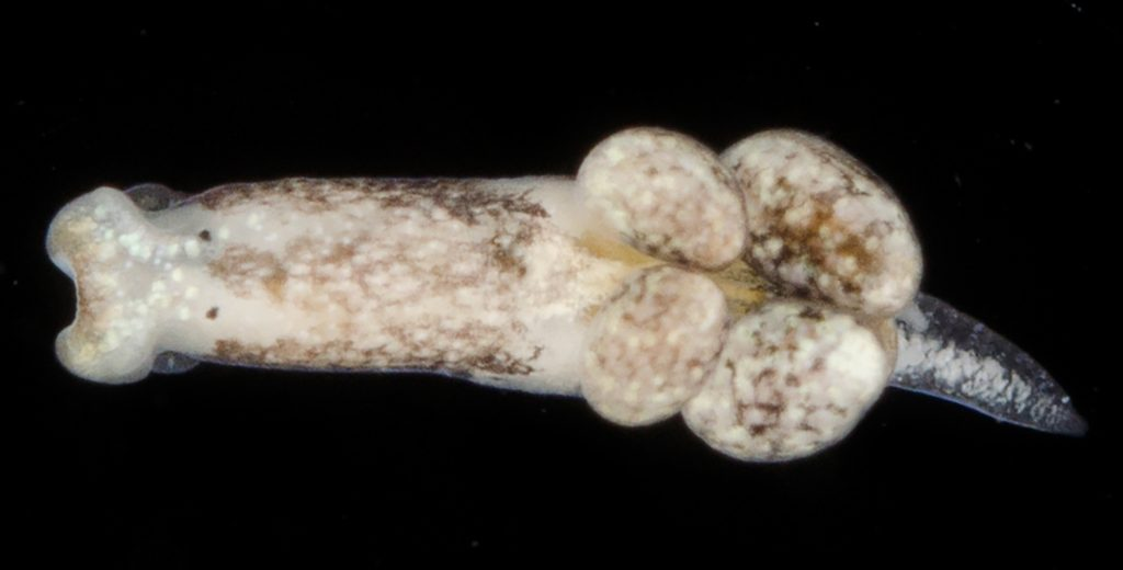 mottled cream slug with two pair of bulges on one side