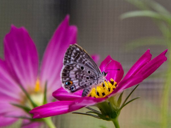 Tiny butterfly on bright pink flower