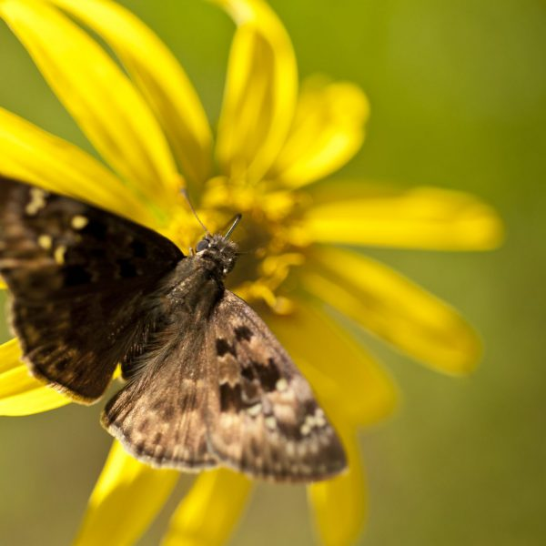 A small, brown butterfly rests on a yellow flower