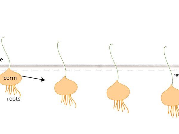 graphic showing plant descending deeper into soil