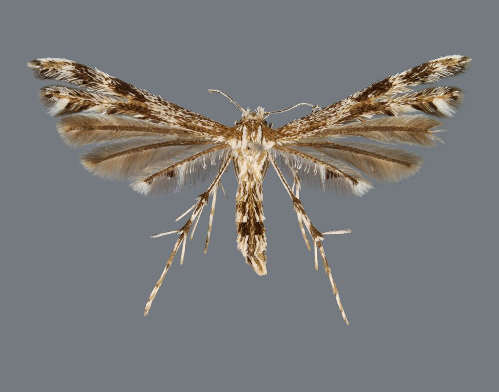 brown and white feathery moth
