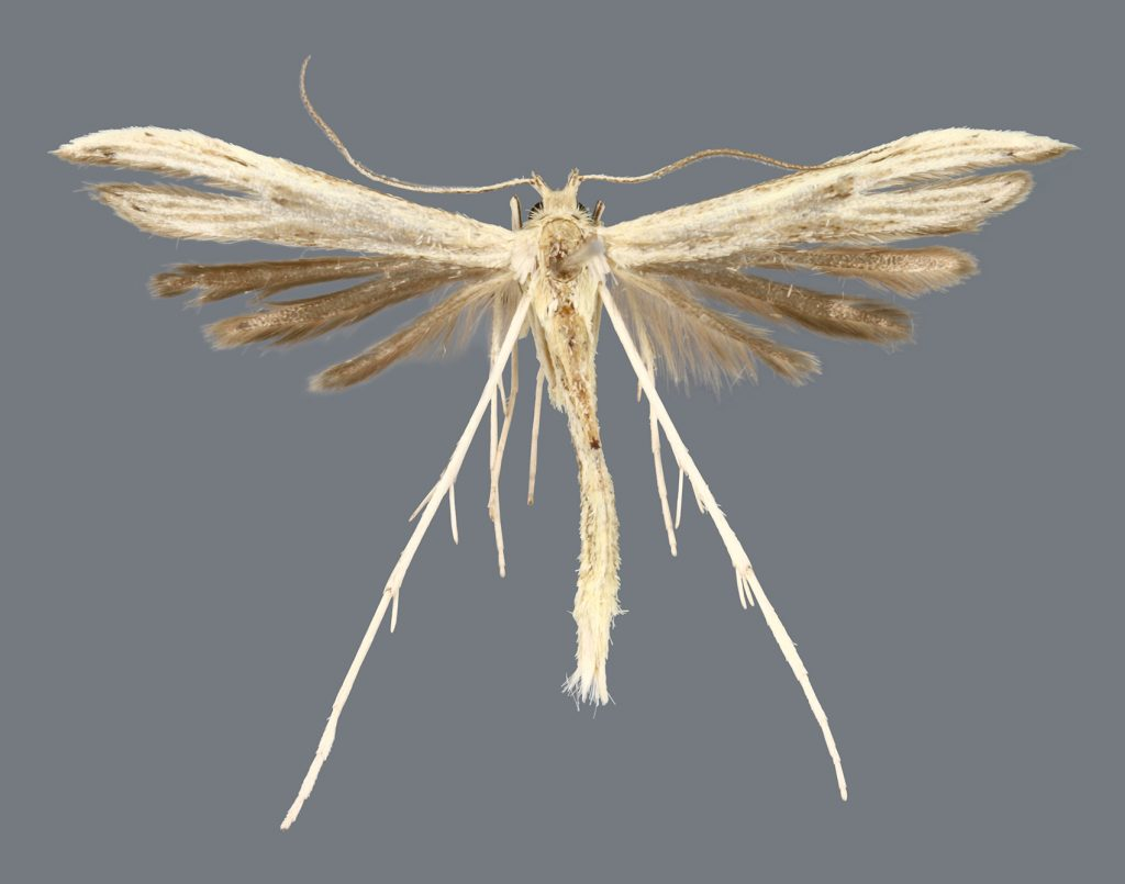 white feathery moth on gray background