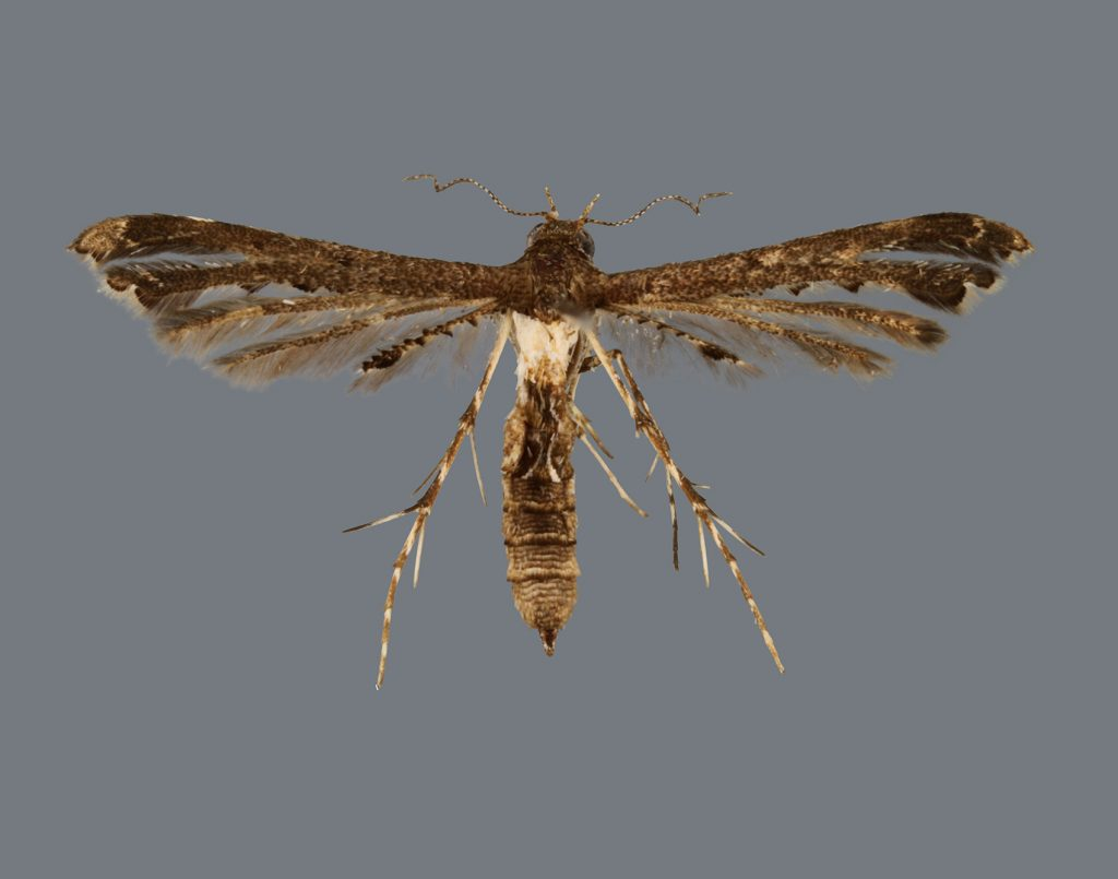 brown feathery moth on gray background