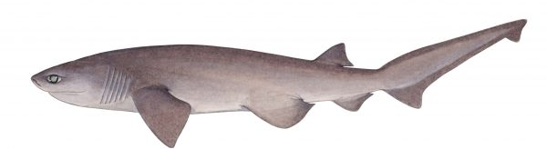 illustration of bluntnose sixgill shark