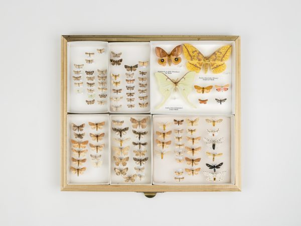 A shot of various preserved moths displayed in a drawer