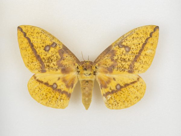 A yellow moth with brown patterning on its wings