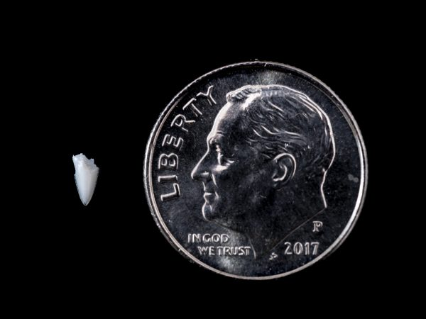 small shark tooth fragment next to dime for scale