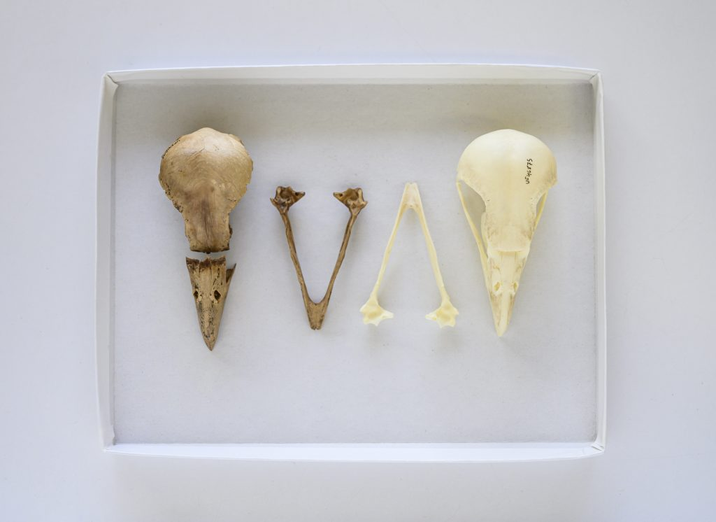 fossil bird skull and mandibles next to modern bird skull and mandibles