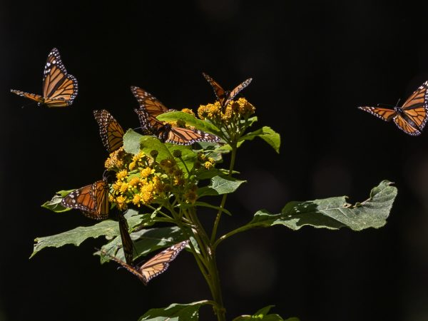 Monarch butterflies on flowering plant