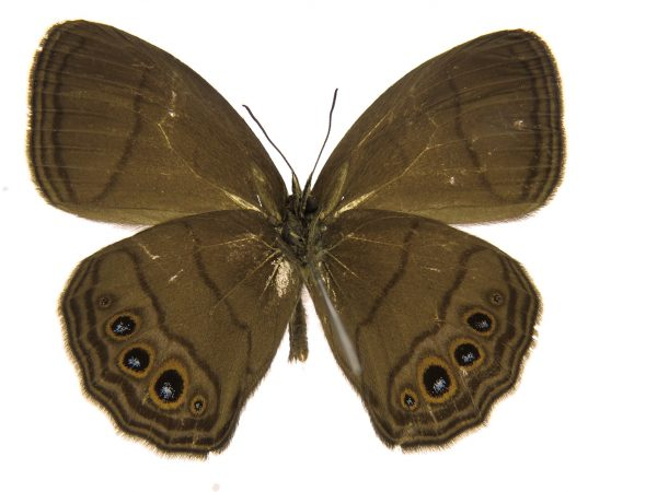 butterfly holotype
