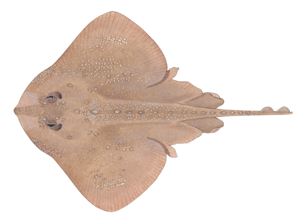 A color illustration of a brown skate with thorns and a textured body