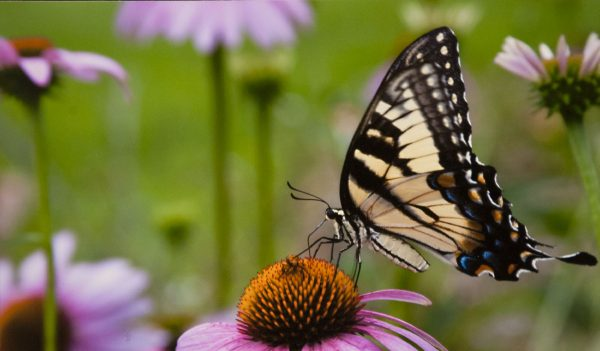 yellow butterfly on coneflower