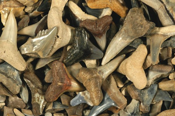 pile of large variety of fossil shark teeth showing a variety of shapes and colors