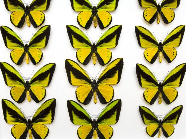 green and yellow butterflies