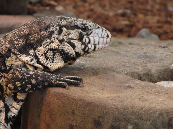 black and white lizard