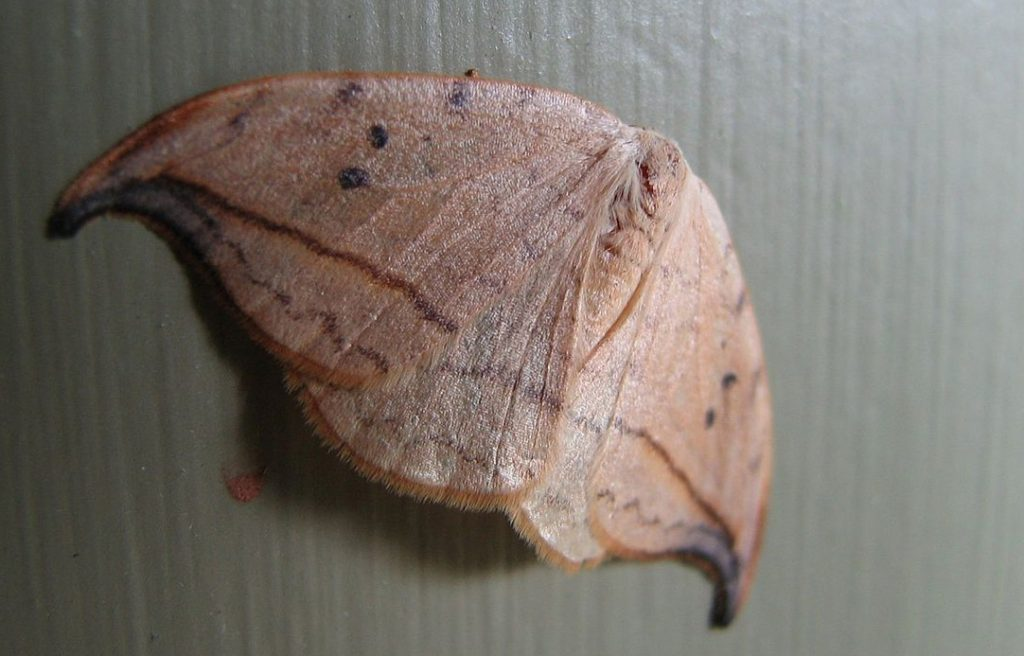 mauve moth